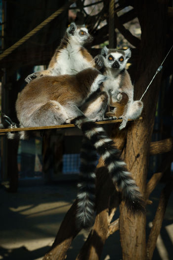 family portrait Lemur Kingjulian Family Time Animal Photography Animalportrait Lemur Catta Animalbaby Schönbrunn, Vienna Austria Natgeowild Animal Themes Close-up Zoo Animals In Captivity Tail