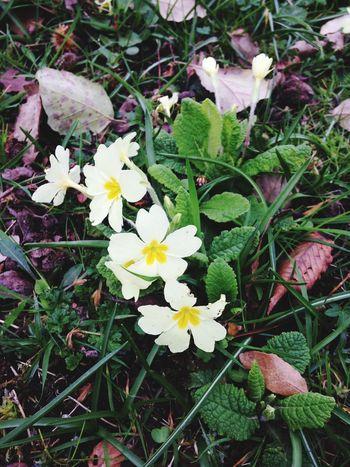 Secret Garden Nature Flowers Primroses 🌼