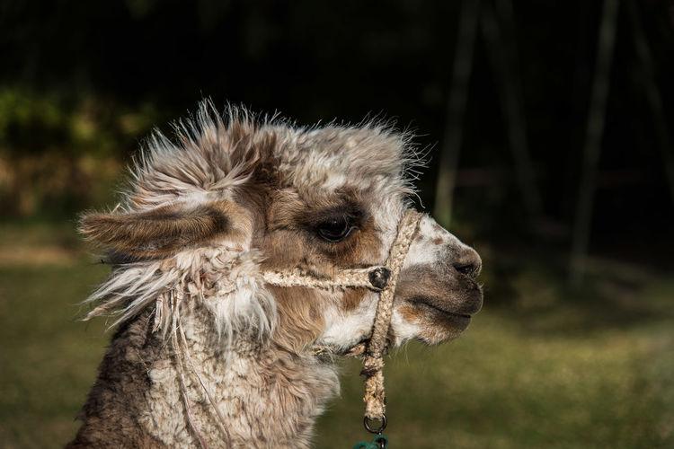 Close-up of llama on field