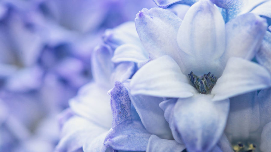 Flowering Plant Plant Flower Freshness Beauty In Nature Close-up Fragility Growth Purple Vulnerability  Nature Petal No People Selective Focus Inflorescence Flower Head Macro Blue Day Full Frame Outdoors Springtime Softness Purity Hyacinth