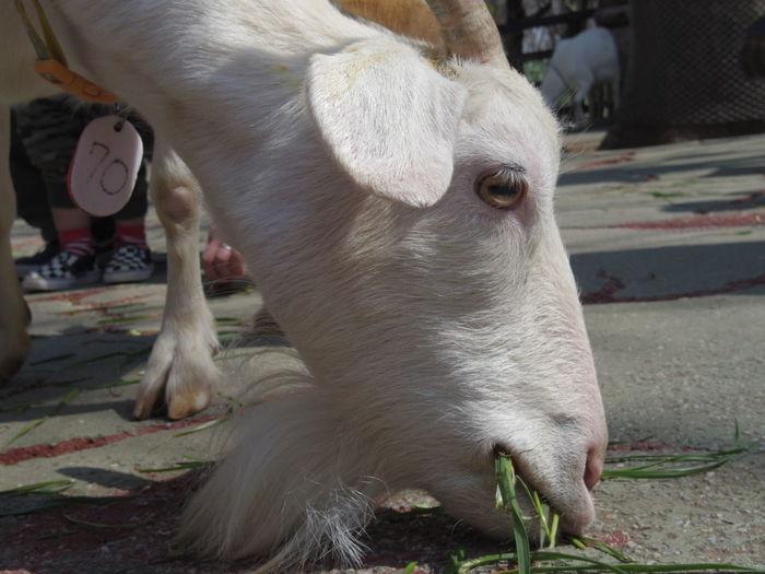 千葉市動物公園のヤギ。 Animal Themes Mammal Domestic Animals One Animal Day No People Outdoors Close-up Elephant Animal Leg Nature