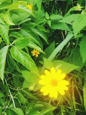 Flower Yellow Plant Nature Beauty In Nature Daisy Flower Outdoors In Canada Blooming Bright And Beautiful Green Color Healing Place