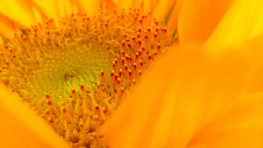 -• Λ ΡΣΓFΣCΤ ΡΛΤΤΣΓΝ •- Orange By Motorola IPhoneography OpenEdit Sunflower Orange EyeEm Best Shots EyeEm Best Edits Macro Nature Nature_collection