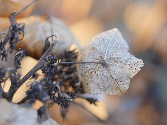 EyeEm Selects Close-up Plant Dry No People Nature Winter Beauty In Nature Cold Temperature Selective Focus Focus On Foreground Fragility Frozen Plant Part Leaf
