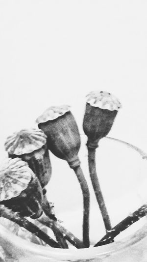 Poppies  Opium Opium Poppies Flowers Grayscale Poppy Flower Garden Vase Bud Poppy Stems Shot Glass Black And White Glass Pod Grey Gray Bulb Seeds Monochrome Foliage Floral Flora And Fauna Picked Flowers Flora