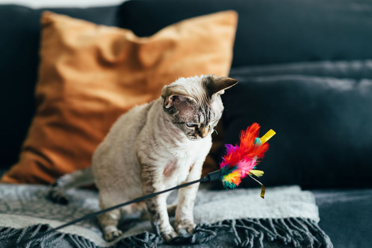 Devon rex cat playing with a feather toy