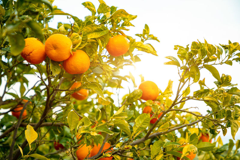 Italy Sicily Healthy Eating Fruit Food Food And Drink Tree Plant Growth Freshness Low Angle View Citrus Fruit Leaf Nature Plant Part Wellbeing Fruit Tree Orange Color Orange Tree No People Orange Sky Outdoors Ripe