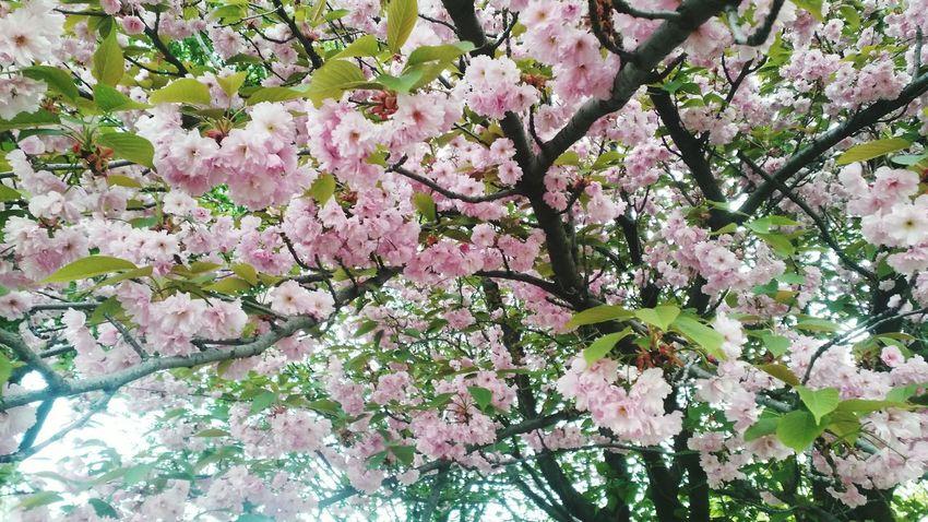 ботанический сад КиевБотСад Киев ботсад Secret Garden сакура EyeEm Nature Lover Relaxing Nature Blossom