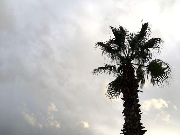 Palm Tree Palm Tree And Sky Palm Against Sky Maltese Nature