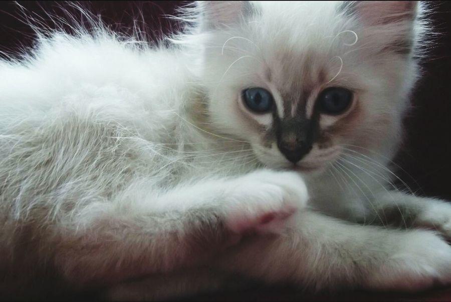 Mon heydi !?? Cat Sacre De Birmanie Chaton Félin