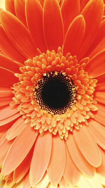Flower Fragility Petal Flower Head Beauty In Nature Nature Freshness Backgrounds Pollen Close-up Full Frame Growth Blooming Plant No People Gerbera Daisy Soft Focus Day Freshness Amazing Best EyeEm Shot Absolutely Incredible Multi Colored EyeEm Gallery My Year My View