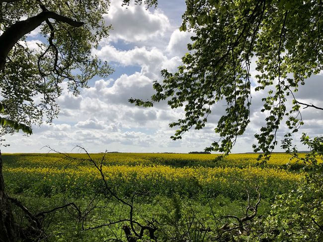 Ahhh Britain in bloom. Marvellous. #MobileSky #clouds #sky #nature #iphonex MobileSky Plant Growth Sky Beauty In Nature Field Landscape Tranquility Cloud - Sky Tree Tranquil Scene Land Agriculture Scenics - Nature No People Environment Rural Scene Nature Crop
