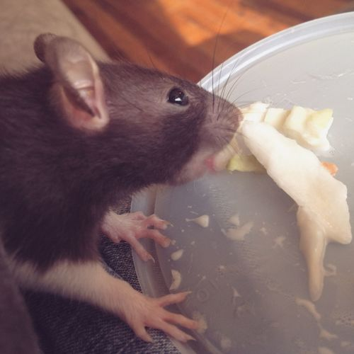 Feeling Good My Baby Rat Pets Furbaby Happiness Love Oogieboogie Coleslaw Cuddles