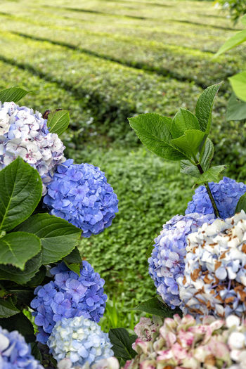 Portrait view of Hydrangeas with rows of tea bushes in the background on Sao Miguel island. São Brás São Brás Cha Gorreana Portugal Azores Sao Miguel Tea Green Black Production Factory Industry Rows Atlantic Europe Cha Gorreana Organic Leaf Agriculture Island Tourism Drink No People Flowering Plant Hydrangea