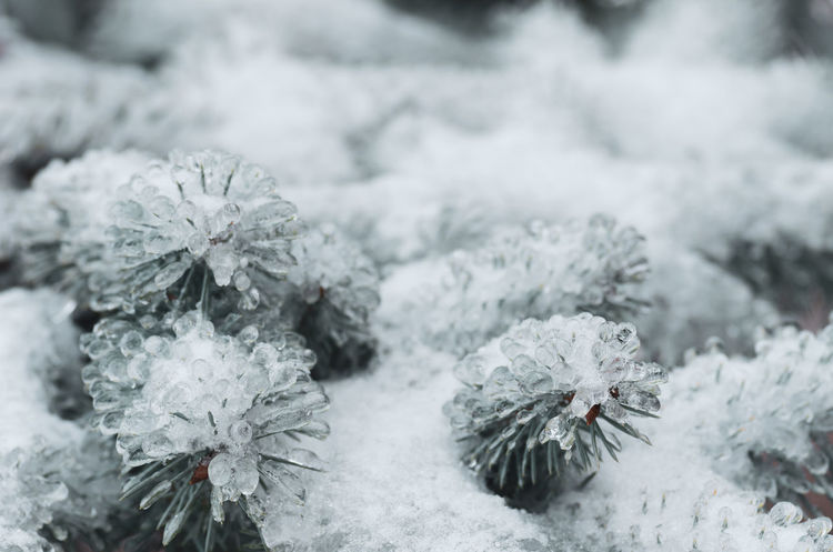 frosty nature Beauty In Nature Blizzard Close-up Cold Temperature Covering Day Extreme Weather Flower Flower Head Flowering Plant Focus On Foreground Fragility Frozen Growth Ice Nature No People Outdoors Plant Snow Vulnerability  White Color Winter