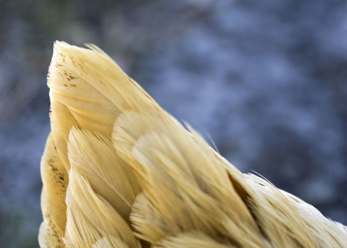 Close Up Of Chicken Feathers