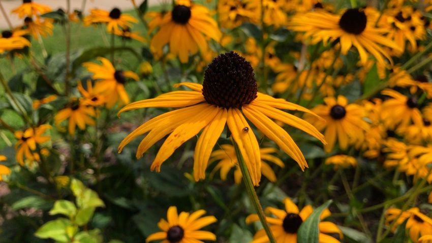 Flower Petal Growth Fragility Blooming Nature Freshness Plant Black-eyed Susan Beauty In Nature Flower Head Yellow Pollen Coneflower No People Focus On Foreground Park - Man Made Space Day Outdoors Close-up