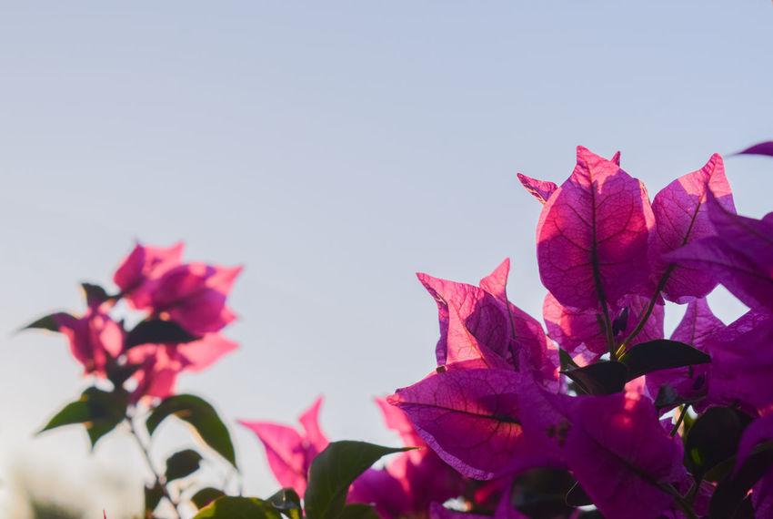 Hot pink bougainvillea Mediterranean  Morning Golden Hour Translucent Translucency Translucent _Petals Flower Flower Head Leaf Pink Color Bougainvillea Sky Close-up Plant Magenta In Bloom Petal Blossom Botany Blooming Maroon Plant Life