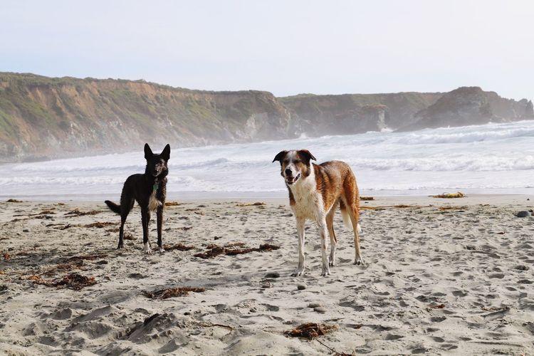 best buddies Dogs Of EyeEm Dogs Playful Sand Dollar Beach USA California EyeEm Selects Mammal Domestic Animals Domestic Pets Animal Themes Beach Sand Water Nature