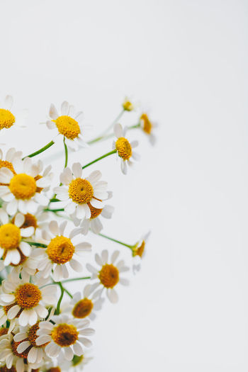 Flower Flowering Plant Freshness Fragility Plant Vulnerability  Beauty In Nature Petal Studio Shot Close-up Flower Head Growth Yellow White Background Inflorescence Copy Space White Color Pollen No People Nature