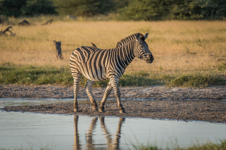 Profile View Of Zebra Walking Near Waterhole