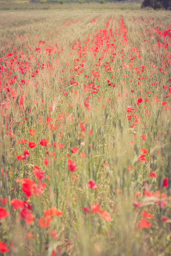 Poppis&wheat Wheat Wheat Field Poppy Flowers Nature Nature_collection Nature Photography Naturelovers Tranquility Growing Scenics Ear Of Wheat Rye - Grain Cultivated Land Agricultural Field