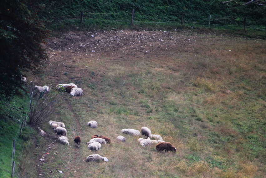 Slovenia Animal Themes Day Field Grass Group Of Animals Herbivorous Herd Land Landscape Livestock No People Outdoors Radovljica September 2018 Sheep