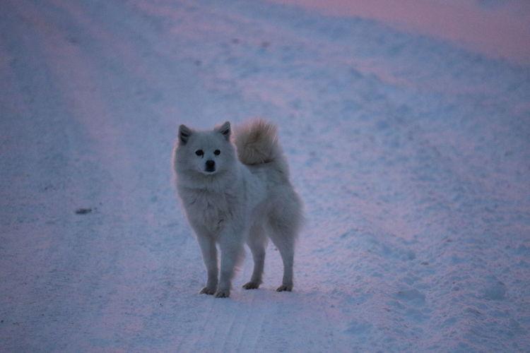 Portrait Of Husky On Snow