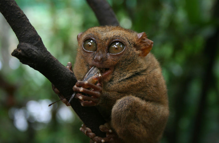 Ape Bohol Eating Hungry Monkeys Munchies Pet Portraits Philippines Animal Themes Animal Wildlife Animals In The Wild Close-up Day Focus On Foreground Mammal Monkey Nature No People One Animal Outdoors Tarsier Tarsiers Tree Wildlife