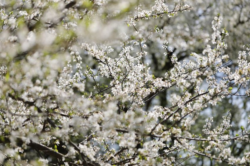Springtime blossom in full swing. Springtime Blossoms Springtime Blossom Plant Growth Nature Beauty In Nature No People Day Tree Vulnerability  Selective Focus Fragility Outdoors Freshness Focus On Foreground Flowering Plant Tranquility Close-up Flower Sunlight Green Color Branch