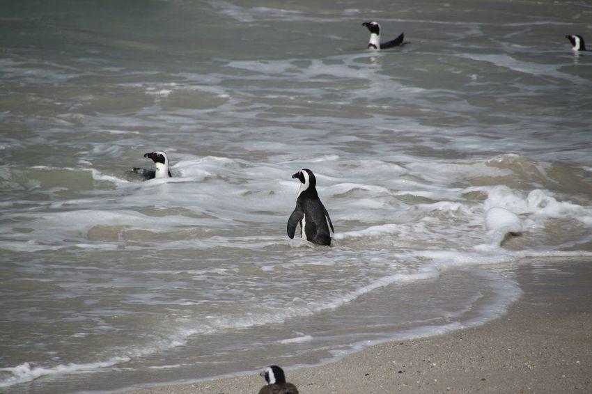 Pinguin Animals Bird Birds Boulders Beach Bouldersbeach Penguin Penguins Pinguin Pinguine Vogel