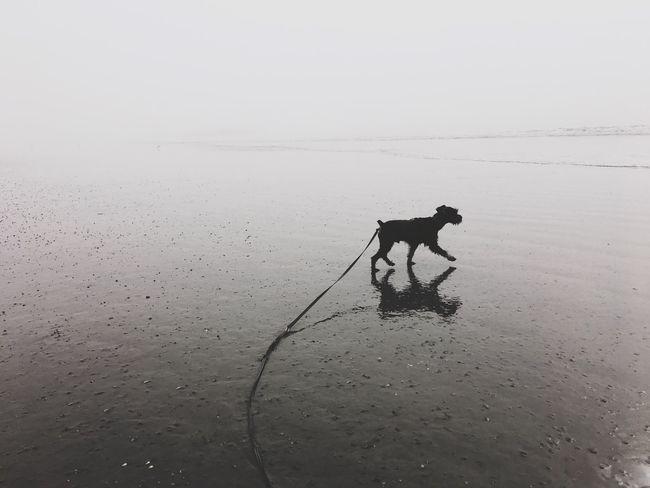 Dog Mood Beach Schnauzer