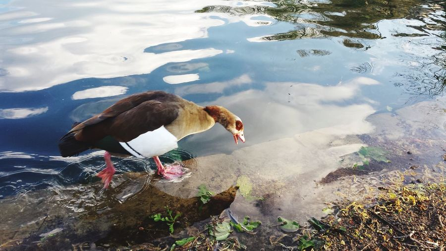 High angle view of duck foraging in lake