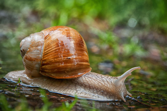 Schnecke mit Schneckenhaus im Regen Animal Shell Animal Themes Animals In The Wild Close-up Day Focus On Foreground Fragility Gastropod Nature No People One Animal Outdoors Slimy Slug Snail Wildlife