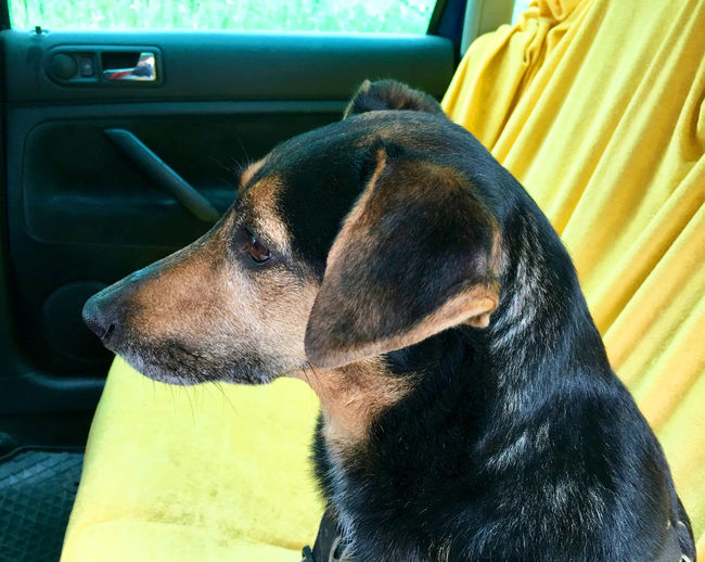 Close-up of dog sitting in car