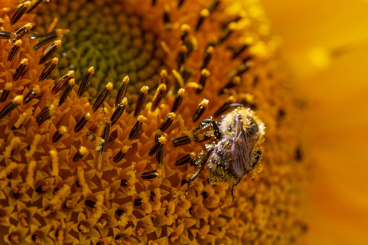 Macro of a honey bee, apis mellifera, covered in pollen on a sunflower, helianthus