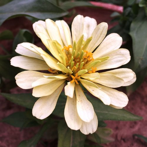 Full bloom Plants Flowers,Plants & Garden Green Offwhite. Flowers Flower Flowerporn Bloom Petals Check This Out