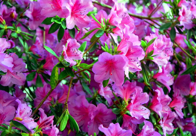 Garden flowers Blooming Flowers Garden Flowers Pink Beauty In Nature Blooming Blossom Close-up Day Flower Flower Head Flowers Fragility Freshness Full Of Flowers Growth In The Garden Nature No People Outdoors Petal Pink Color Pink Flowers Spring Springtime