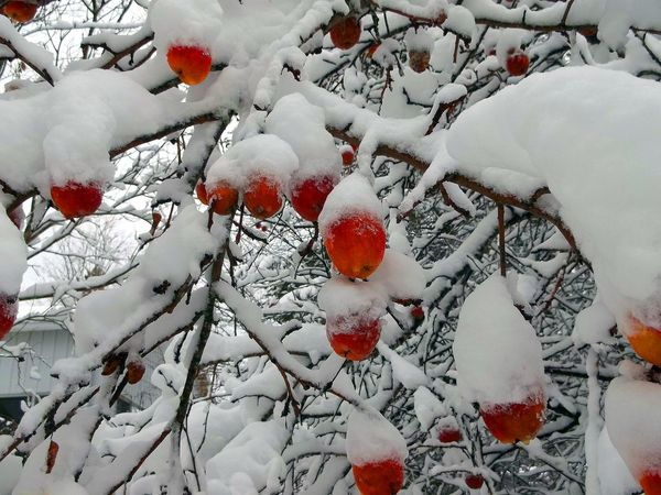 Apples on the apple tree covered in snow. Apple Tree Apples Apples On Tree Beauty In Nature Branch Close-up Cold Temperature Day Frozen Frozen Fruit Landscape Nature No People Outdoors Scenics Snow Snow Covered Snow Covered Trees Snow Storm Tranquil Scene Tranquility Tree Weather White Color Winter