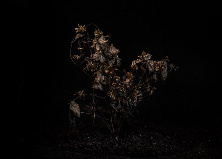 Close-up of dried plant on field against black background