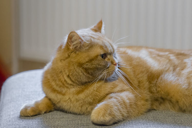 Cat Pets Feline Domestic Animal Animal Themes Domestic Cat Mammal One Animal Domestic Animals Relaxation Indoors  Vertebrate Close-up Whisker No People Furniture Focus On Foreground Resting Sofa Ginger Cat Care