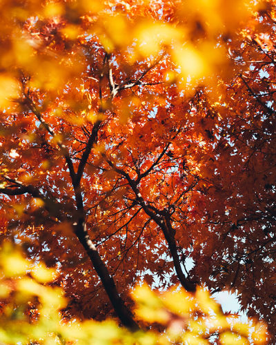 Like a fire Tree Autumn Orange Color Plant Change No People Branch Yellow Nature Beauty In Nature Low Angle View Growth Outdoors Close-up Full Frame Day Leaf Sky Plant Part Tranquility Maple Leaf