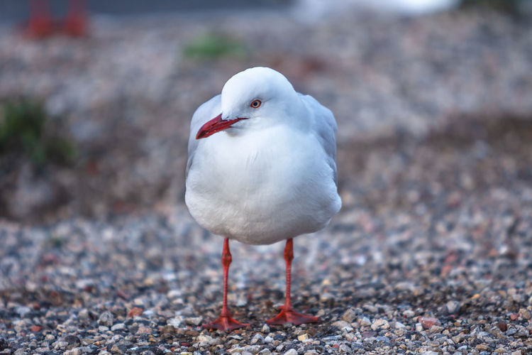 Seagull Animal Animal Themes Animal Wildlife Animals In The Wild Bird Close-up Day Focus On Foreground Land Nature No People One Animal Outdoors Perching Seagull Vertebrate