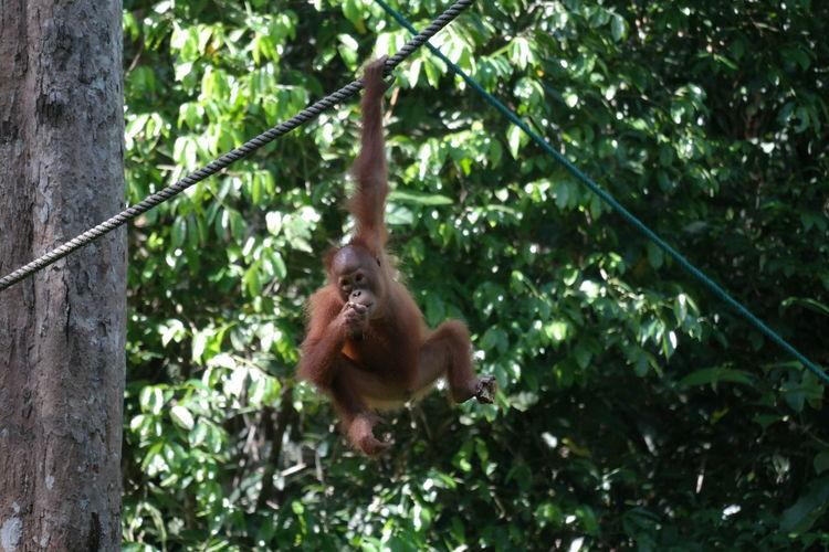 Orangutan at Semonggok Wildlife Rehabilitation Center Semonggok Semonggok Wildlife Rehabilitation Center Animals In The Wild Ape Borneo Branch Day Green Color Growth Kuching Malaysia Mammal Nature No People One Animal Orangutan Tree Wildlife Wildlife & Nature