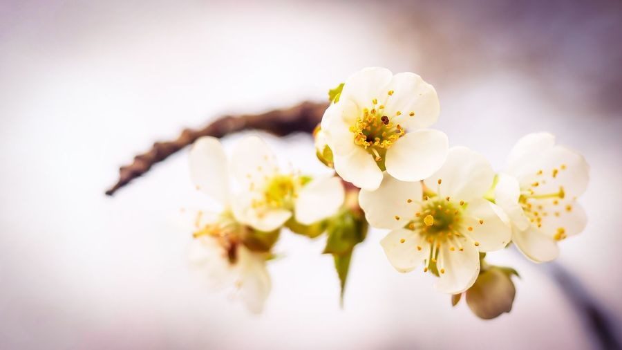 Flower Fragility Blossom Petal Beauty In Nature Flower Head Freshness Springtime White Color Close-up Nature Growth Stamen Botany Apple Blossom No People Selective Focus Plum Blossom Branch Olympus OM-D E-M5 Mk.II Fine Art Photography Outdoors Nature Spring Cherry Blossoms