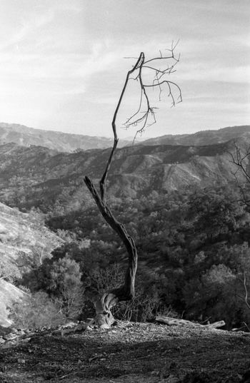 A tree struggles to survive after the Thomas Fire. California 2017. California EyeEm Best Shots EyeEm Nature Lover Landscape_Collection Nature Collection Nature Photography Thomas Beauty In Nature Burn Dead Tree Eye4photography  Fire Landscape Landscape_photography Leica Mountain Nature Nature_collection Naturelovers No People Outdoors Sky Tree
