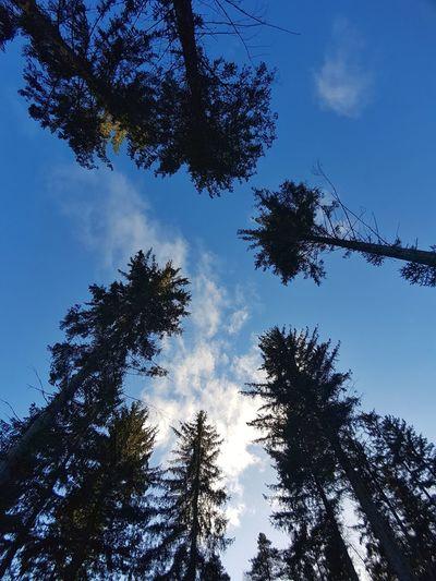 Pine Tree Tree