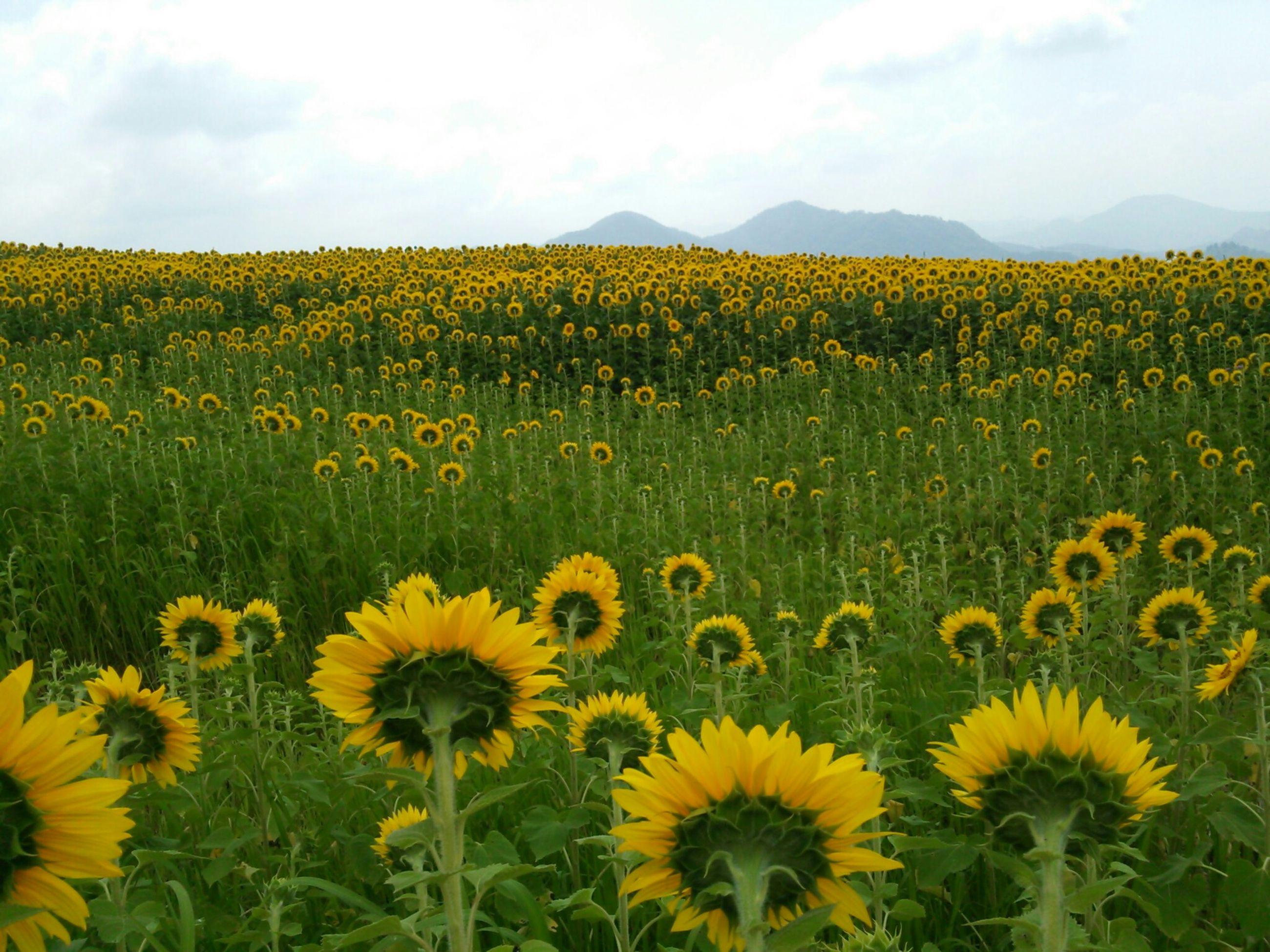 flower, yellow, freshness, growth, beauty in nature, field, fragility, rural scene, agriculture, sunflower, nature, landscape, plant, blooming, flower head, oilseed rape, petal, sky, farm, abundance