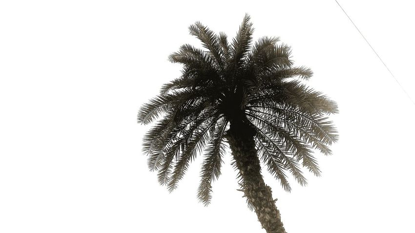 Palm Trees Palm Tree Mussles Black And White Photography Plants Plant Photography Tress Sky And Trees Natural Light Portrait Showcase June