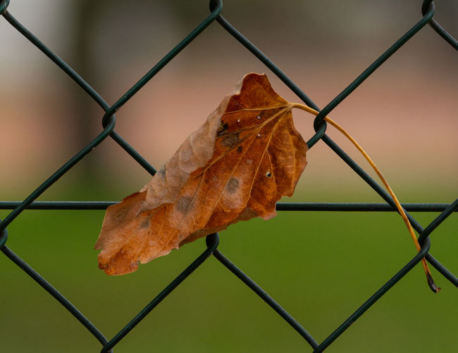 Close-up of dry leaf on chainlink fence